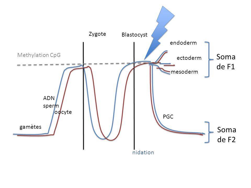 Zygote Blastocyst ADN sperm oocyte endoderm ectoderm mesoderm PGC gamètes Methylation CpG nidation Soma de F1 Soma de F2