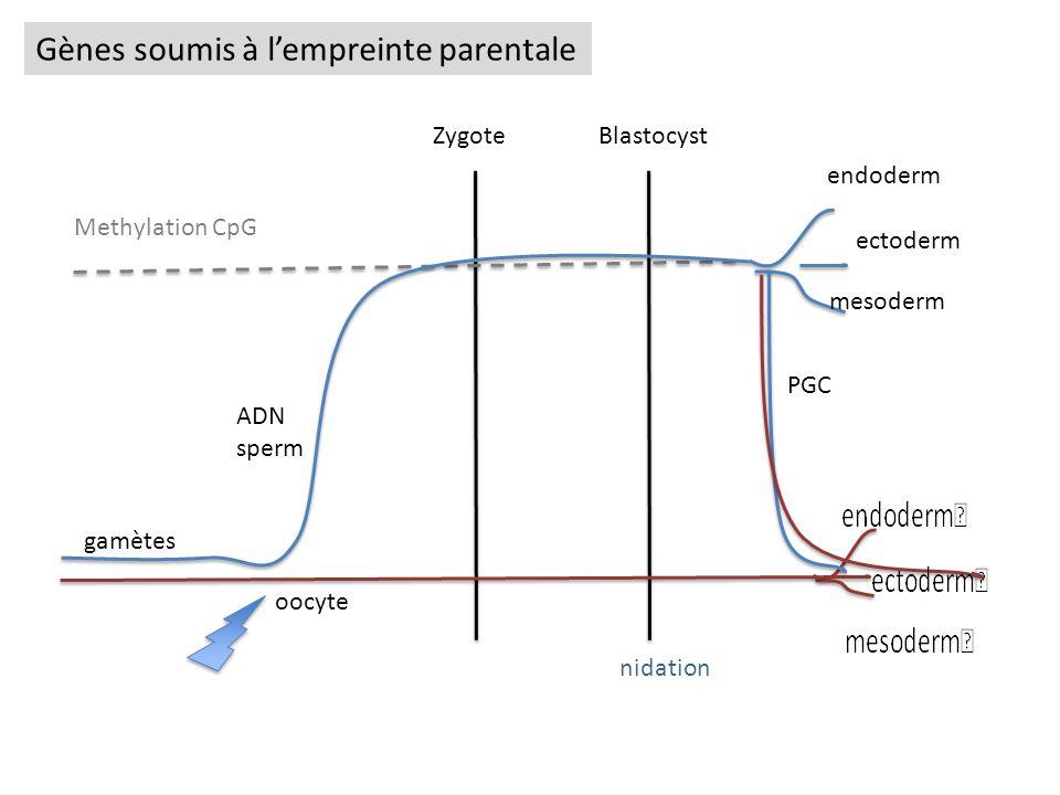 Zygote Blastocyst ADN sperm oocyte endoderm ectoderm mesoderm PGC gamètes Methylation CpG nidation Gènes soumis à lempreinte parentale