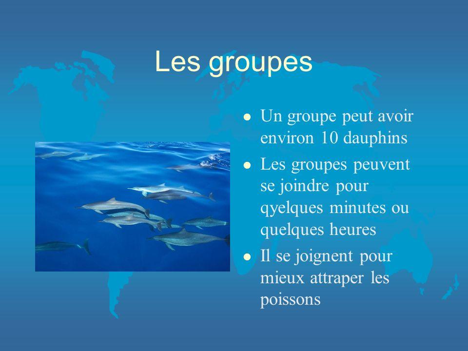 Les groupes l Un groupe peut avoir environ 10 dauphins l Les groupes peuvent se joindre pour qyelques minutes ou quelques heures l Il se joignent pour