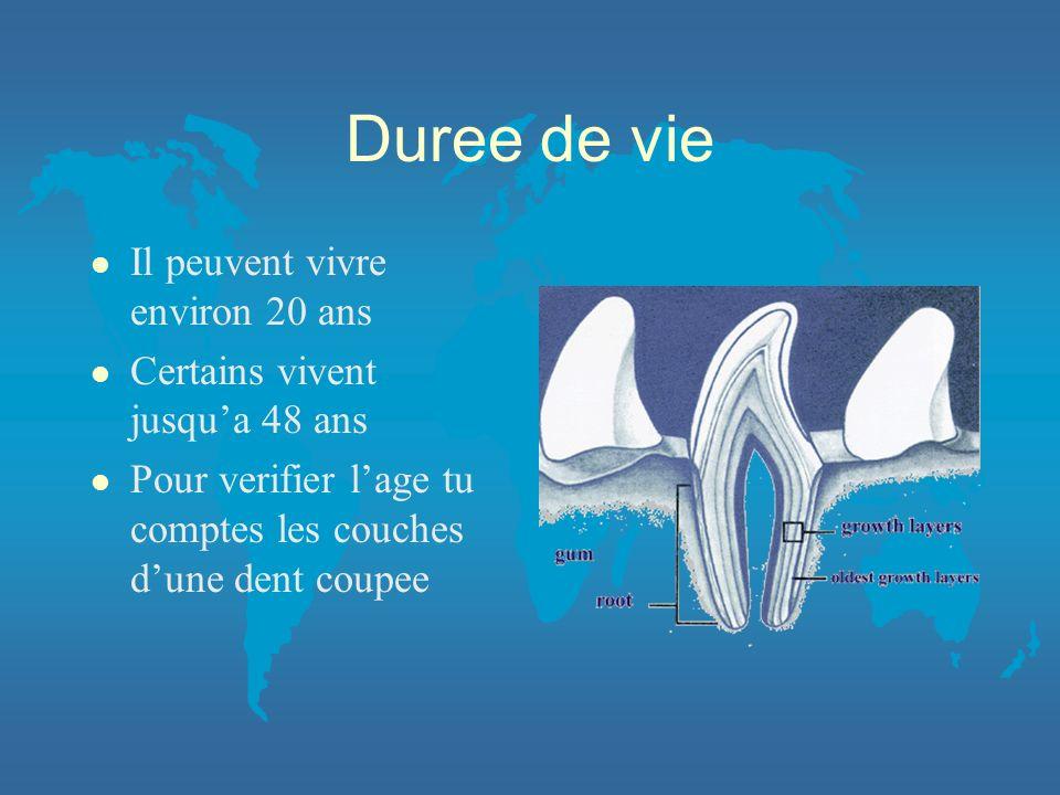 Duree de vie l Il peuvent vivre environ 20 ans l Certains vivent jusqua 48 ans l Pour verifier lage tu comptes les couches dune dent coupee