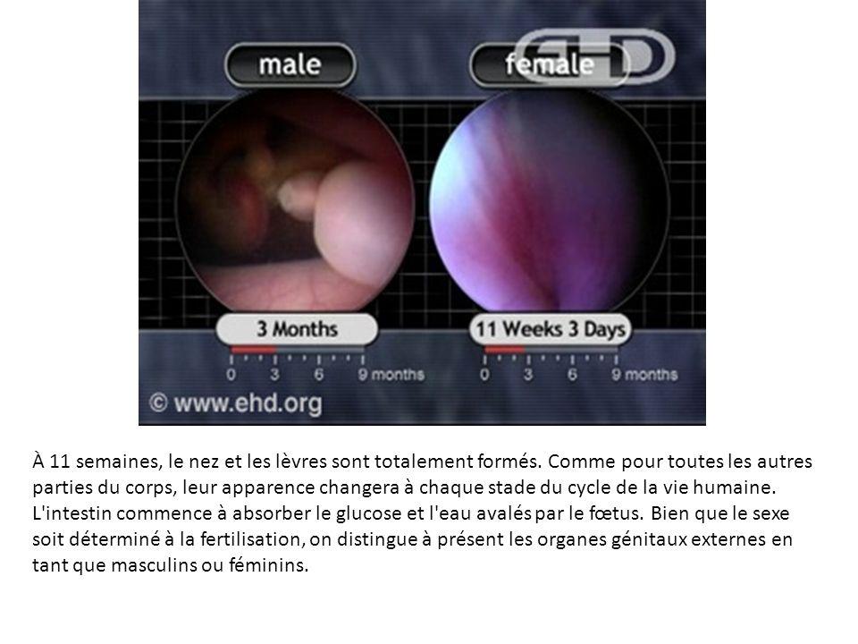 À 11 semaines, le nez et les lèvres sont totalement formés. Comme pour toutes les autres parties du corps, leur apparence changera à chaque stade du c