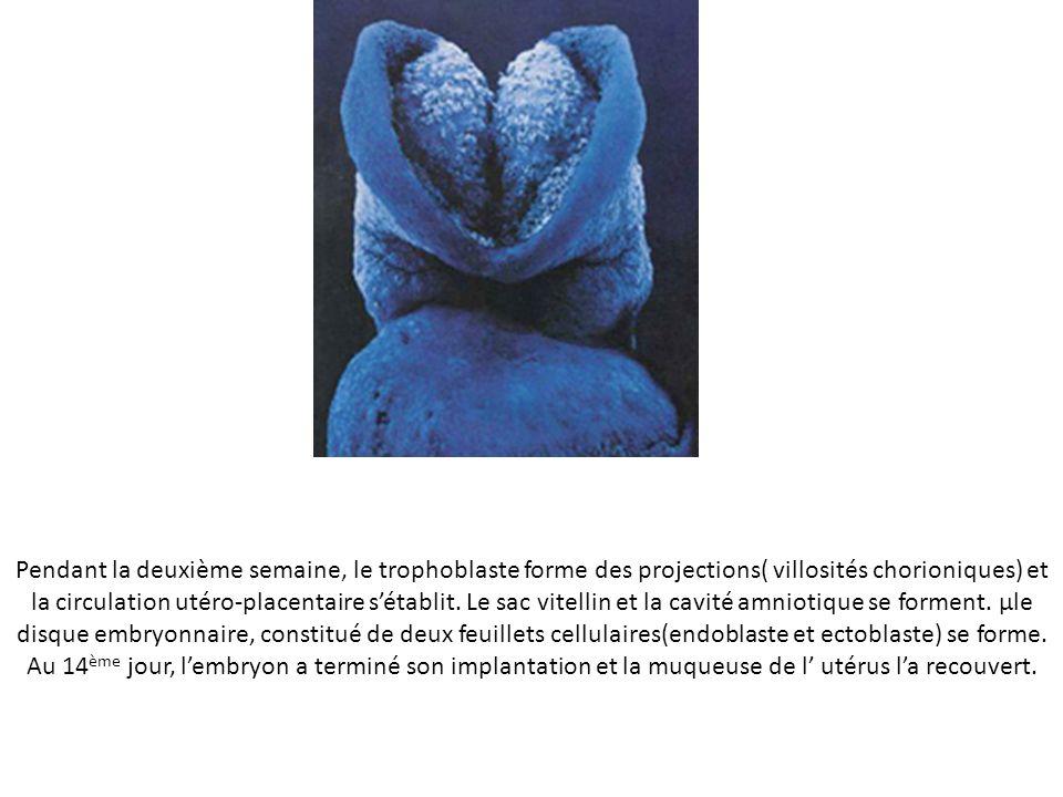 Pendant la deuxième semaine, le trophoblaste forme des projections( villosités chorioniques) et la circulation utéro-placentaire sétablit.