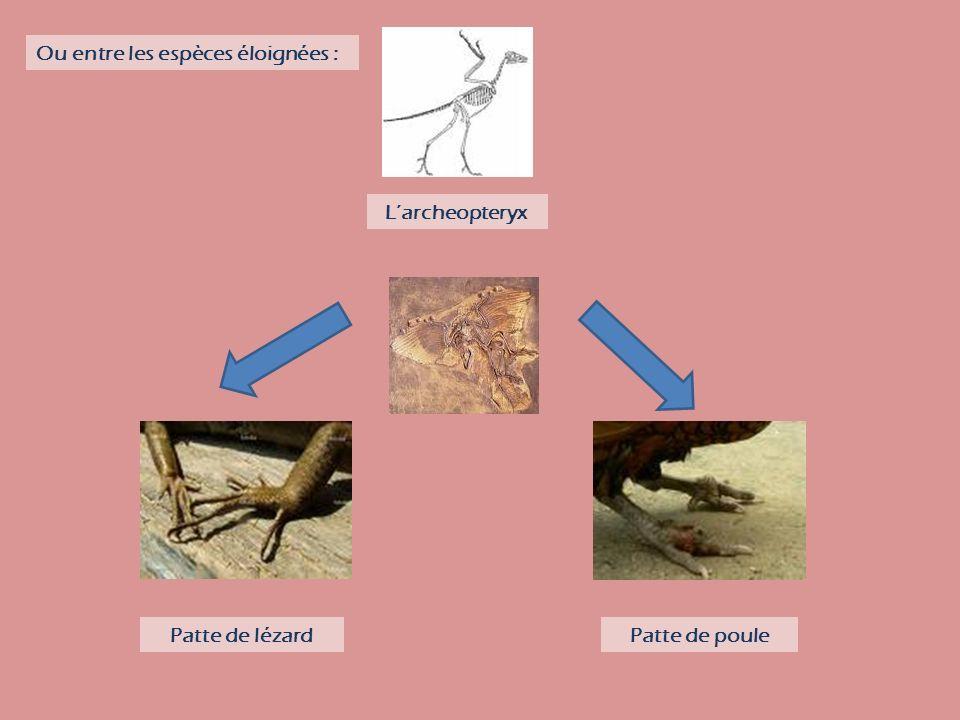 Patte de lézardPatte de poule Larcheopteryx Ou entre les espèces éloignées :