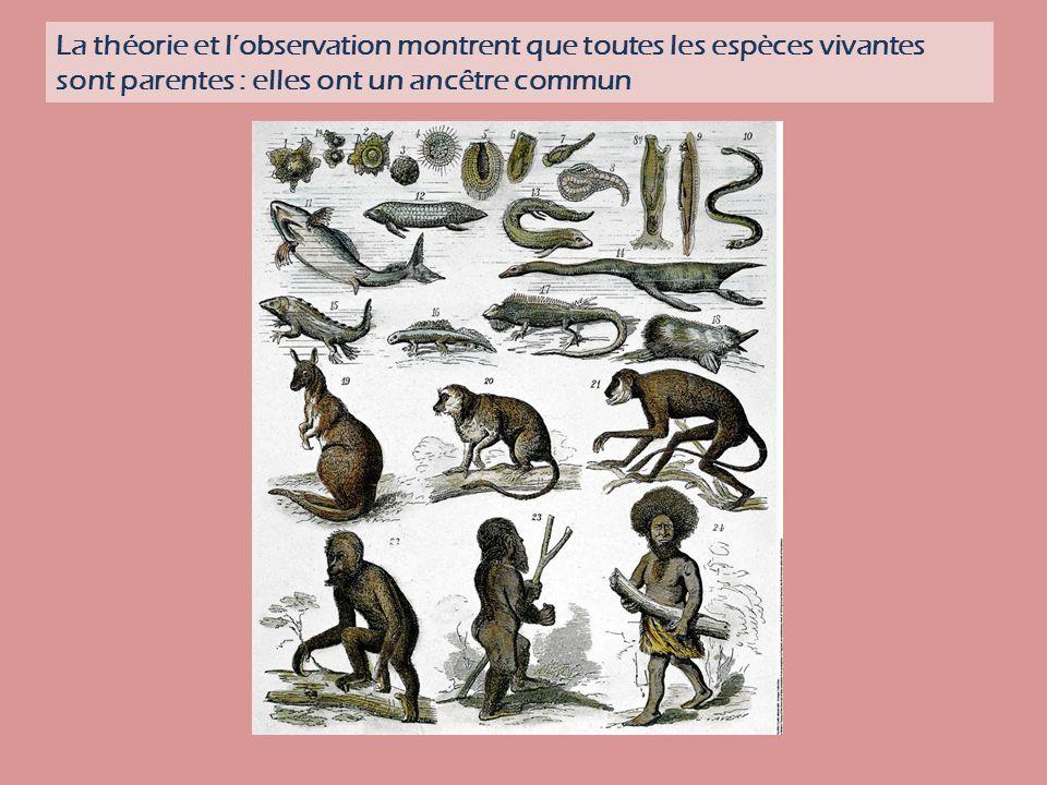 La théorie et lobservation montrent que toutes les espèces vivantes sont parentes : elles ont un ancêtre commun