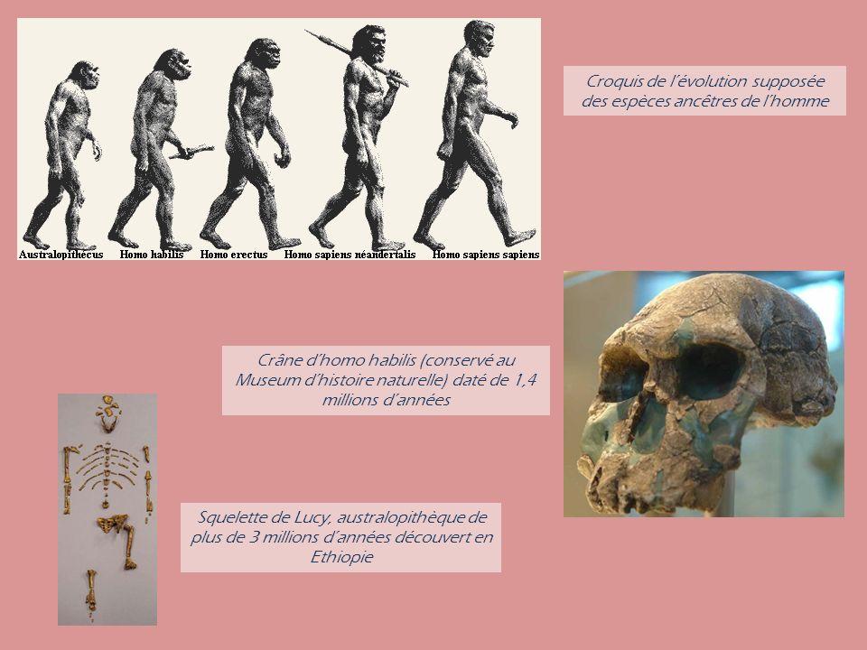 Crâne dhomo habilis (conservé au Museum dhistoire naturelle) daté de 1,4 millions dannées Squelette de Lucy, australopithèque de plus de 3 millions dannées découvert en Ethiopie Croquis de lévolution supposée des espèces ancêtres de lhomme