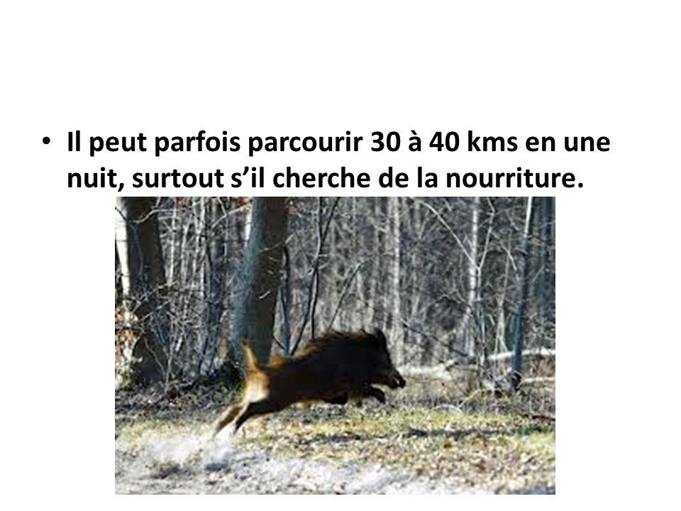 Il peut parfois parcourir 30 à 40 kms en une nuit, surtout sil cherche de la nourriture.