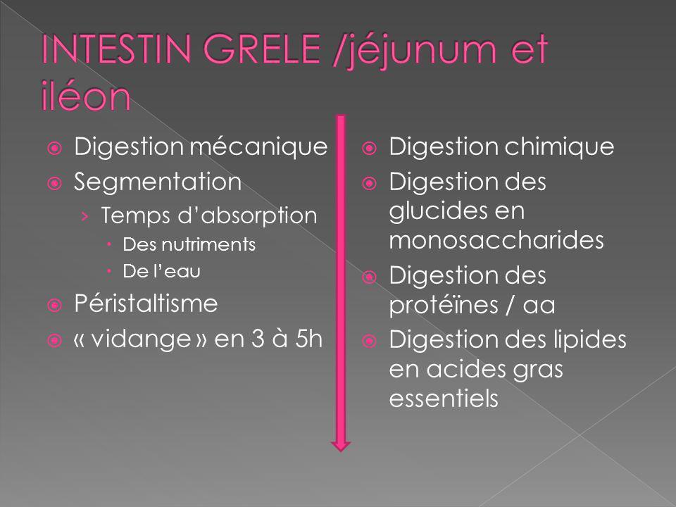 Digestion mécanique Segmentation Temps dabsorption Des nutriments De leau Péristaltisme « vidange » en 3 à 5h Digestion chimique Digestion des glucides en monosaccharides Digestion des protéïnes / aa Digestion des lipides en acides gras essentiels