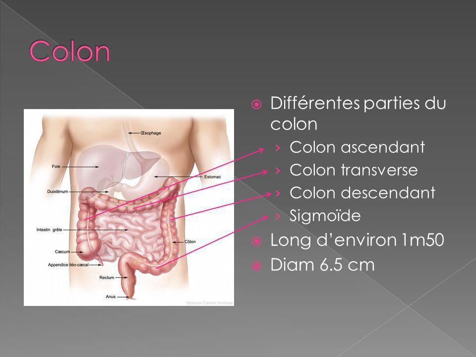 Différentes parties du colon Colon ascendant Colon transverse Colon descendant Sigmoïde Long denviron 1m50 Diam 6.5 cm