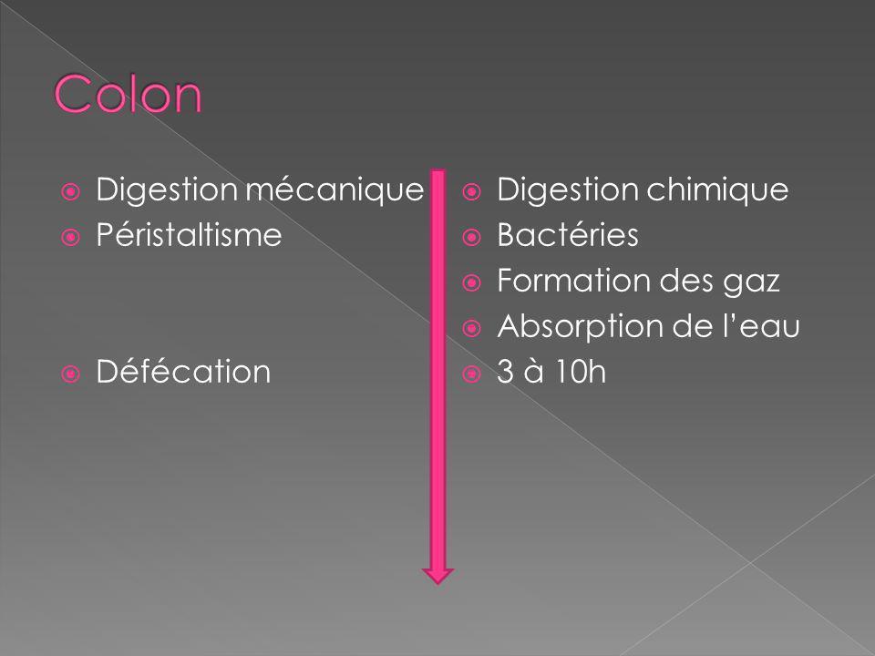 Digestion mécanique Péristaltisme Défécation Digestion chimique Bactéries Formation des gaz Absorption de leau 3 à 10h