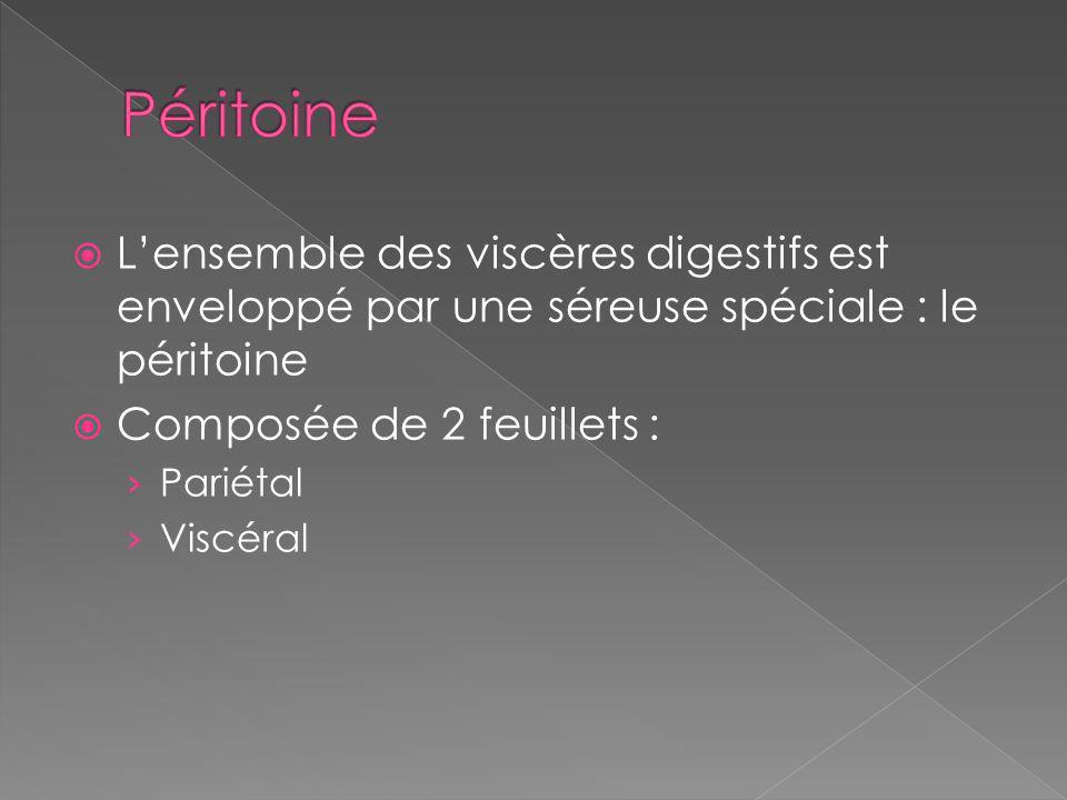 Lensemble des viscères digestifs est enveloppé par une séreuse spéciale : le péritoine Composée de 2 feuillets : Pariétal Viscéral