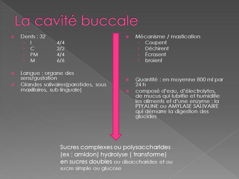 Dents : 32 I4/4 C2/2 PM4/4 M6/6 Langue : organe des sens/gustation Glandes salivaires(parotides, sous maxillaires, sub linguale) Mécanisme / mastication Coupent Déchirent Écrasent broient Quantité : en moyenne 800 ml par 24 h composé deau, délectrolytes, de mucus qui lubrifie et humidifie les aliments et dune enzyme : la PTYALINE ou AMYLASE SALIVAIRE qui démarre la digestion des glucides Sucres complexes ou polysaccharides (ex : amidon) hydrolyse ( transforme) en sucres doubles ou disaccharides et ou sucre simple ou glucose