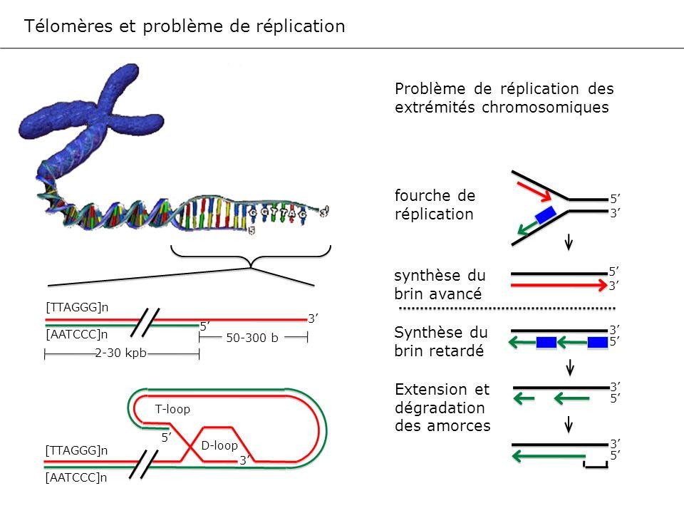 Transcriptase inverse (hTERT) RNA (hTR) 3 5 CAAUCCCAAUC Transcriptase inverse (hTERT) RNA (hTR) 3 5 CAAUCCCAAUC Extension des télomères par la télomérase 50-300 b GGTTAGGGTTAG GGTTAG n GGTTAG