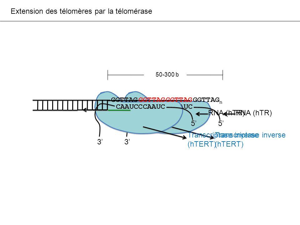 NAF1 requiert la présence du trimère pour sassocier aux RNA H/ACA NAF1 dyskérine NOP10 NHP2
