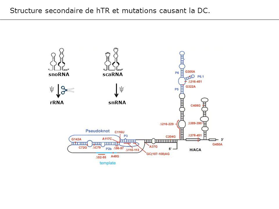 GAR1 NAF1 (3) (2) CTD polII dyskérine NOP10 NHP2 Nucléole, Corps de Cajal Cytoplasme Noyau Site de transcription des RNA H/ACA NAF1 (1) Modèle de la biogénèse des RNA H/ACA in vivo.