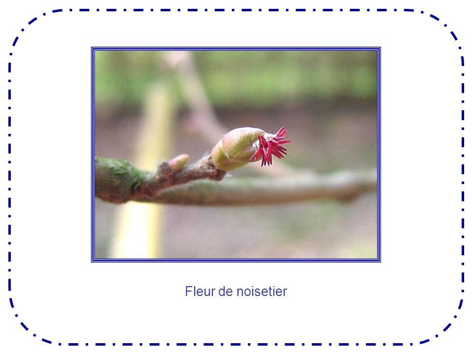 La myrtille, que nos cousins canadiens appellent joliment « le bleuet » pousse sur des arbustes buissonneux denviron 30 cm.