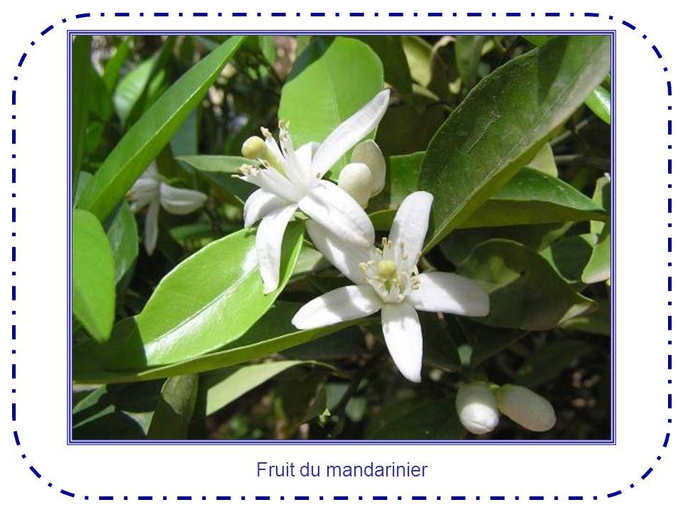 Le châtaignier est un grand arbre majestueux dont les fruits ne peuvent se consommer que cuits : grillés, ou bouillis.