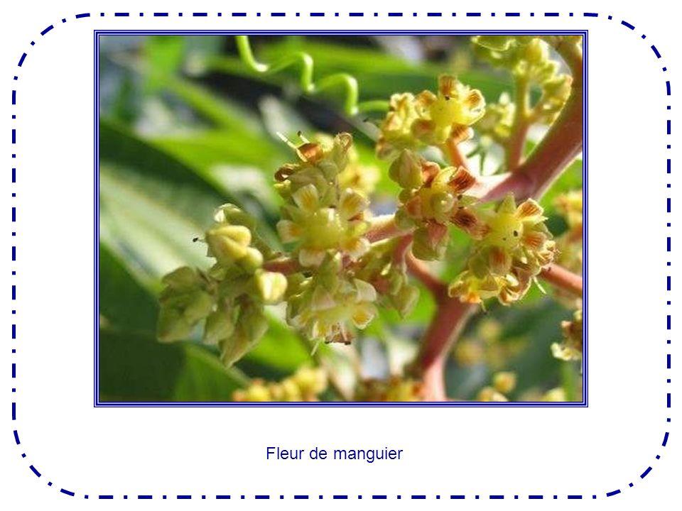 Comme loranger, le mandarinier est un arbre surprenant, qui porte en même temps des fleurs et des fruits .