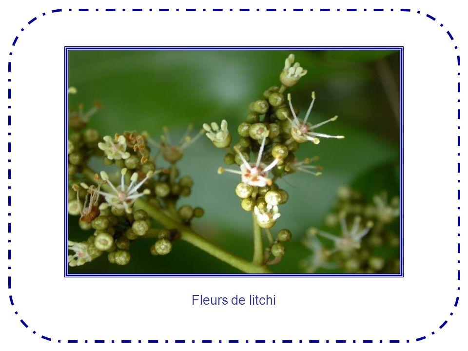 La mangue est le fruit tropical du manguier, grand arbre originaire des forêts de lInde et de Malaisie.