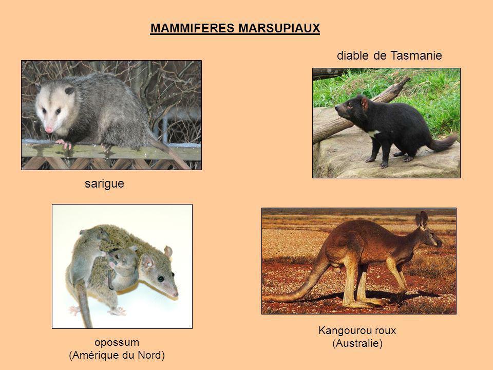 I3 + C1 + P4 + M4 i3 + c1 + p4 + m4 X 2 demie-mâchoire supérieure demie-mâchoire inférieure 12 dents 24 dents 48 lexception qui confirme la règle : Les marsupiaux (sous-classe) qui possèdent quatre molaires au lieu de trois chez les placentaires.