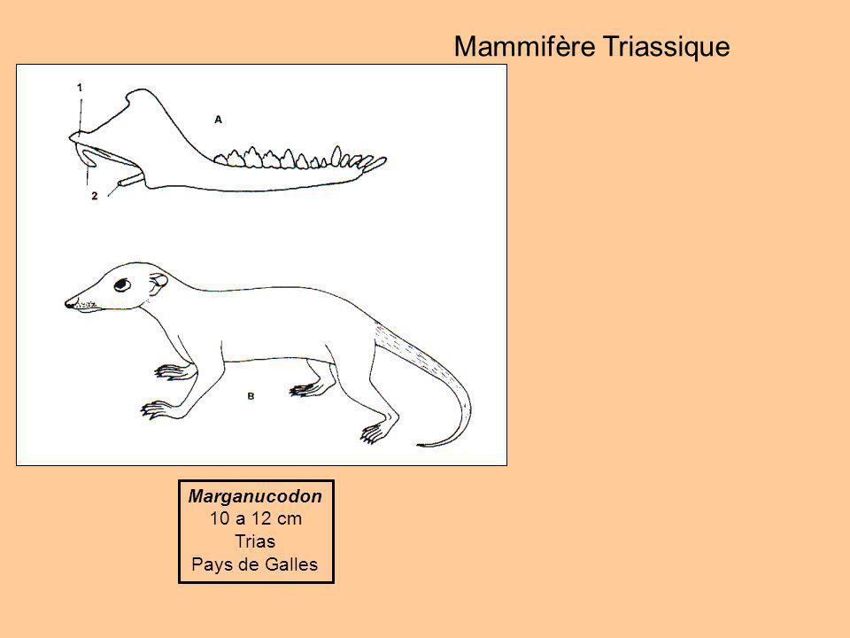 Megazostrodon 10 a 12 cm Jurassique inférieur Afrique du Sud dent triconodonte Mammifères Jurassique Henkelotherium 10 a 12 cm Jurassique supérieur Portugal dent triconodonte