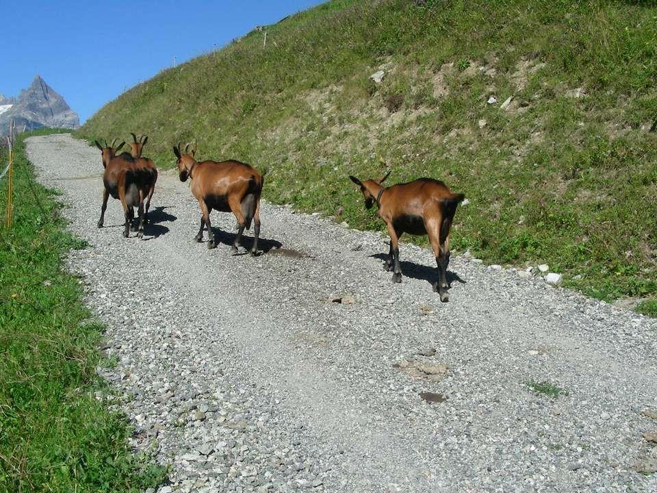 Nous sommes partis de LAu Darbignon, côté Valais Dans les mayens de Collonges 1649 mètres Nous avons été accompagnés Durant quelques mètres Par des petites chèvres Qui avaient lair de bien apprécier notre compagnie.