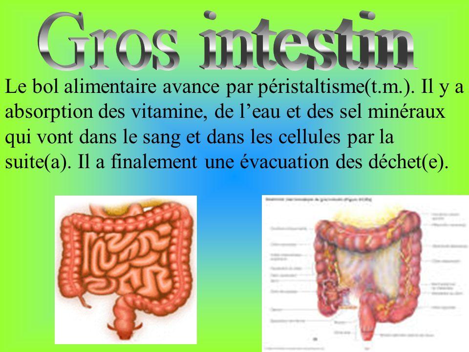 Le bol alimentaire avance par péristaltisme(t.m.). Il y a absorption des vitamine, de leau et des sel minéraux qui vont dans le sang et dans les cellu