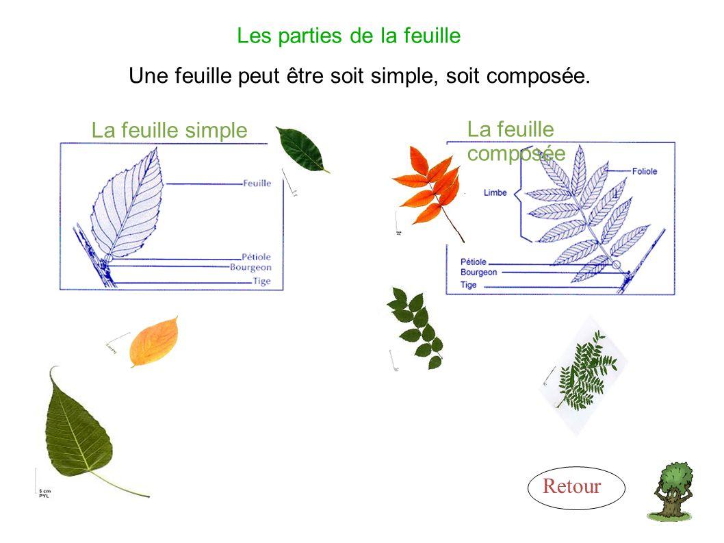 Les parties de la feuille Une feuille peut être soit simple, soit composée.