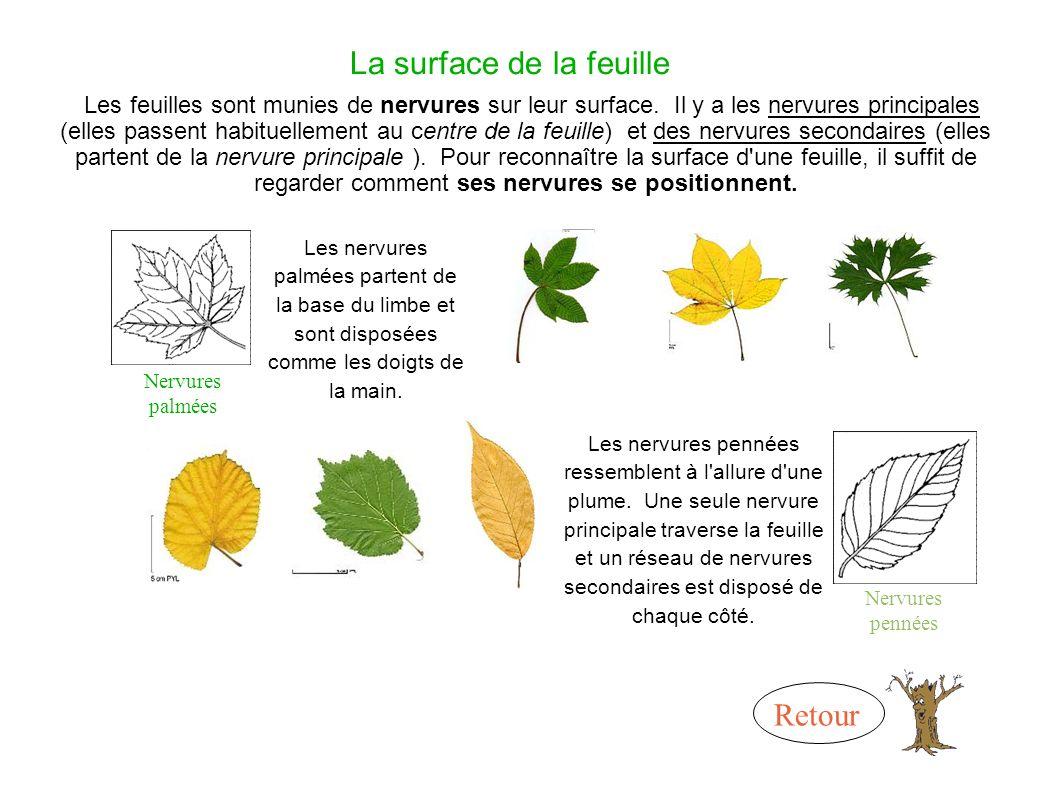 La surface de la feuille Les feuilles sont munies de nervures sur leur surface.