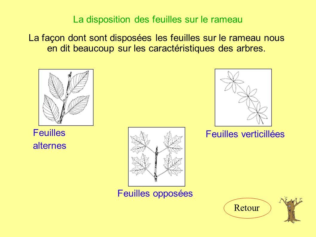 La disposition des feuilles sur le rameau La façon dont sont disposées les feuilles sur le rameau nous en dit beaucoup sur les caractéristiques des arbres.