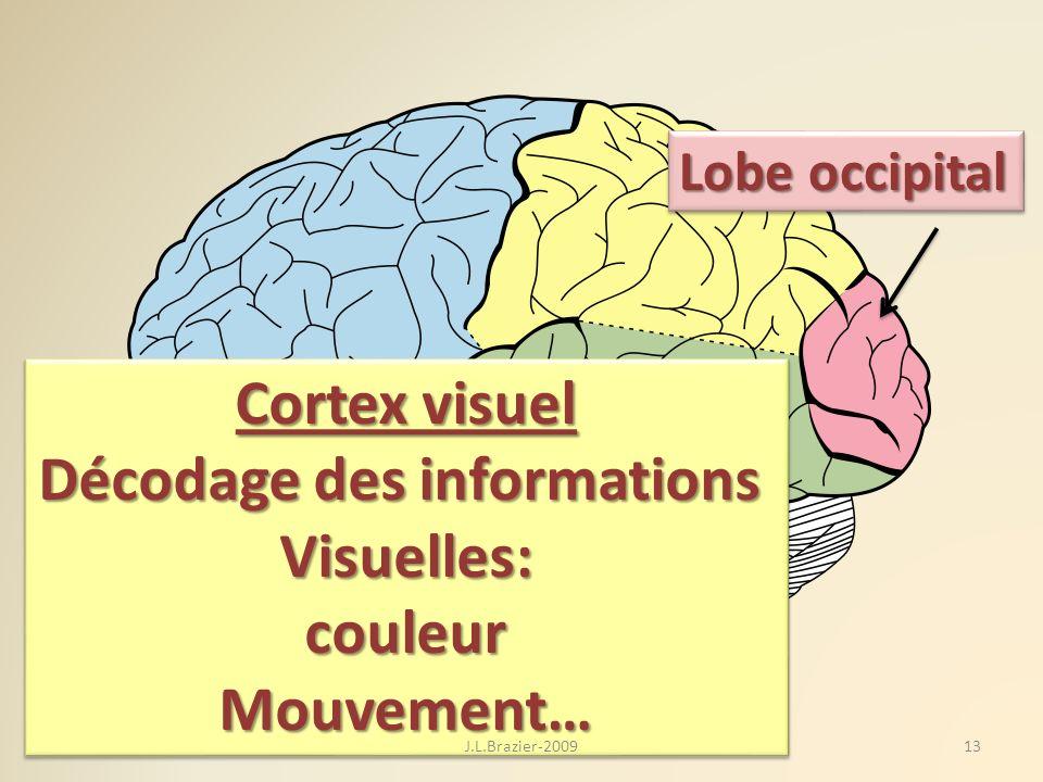 Lobe occipital Cortex visuel Décodage des informations Visuelles:couleurMouvement… Cortex visuel Décodage des informations Visuelles:couleurMouvement…