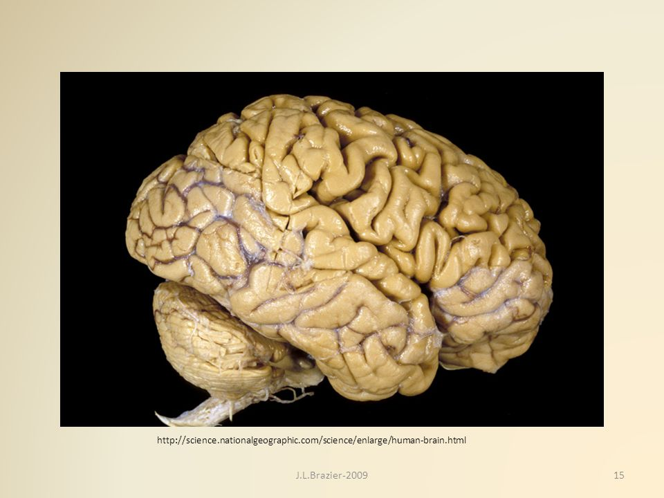 http://science.nationalgeographic.com/science/enlarge/human-brain.html 15J.L.Brazier-2009