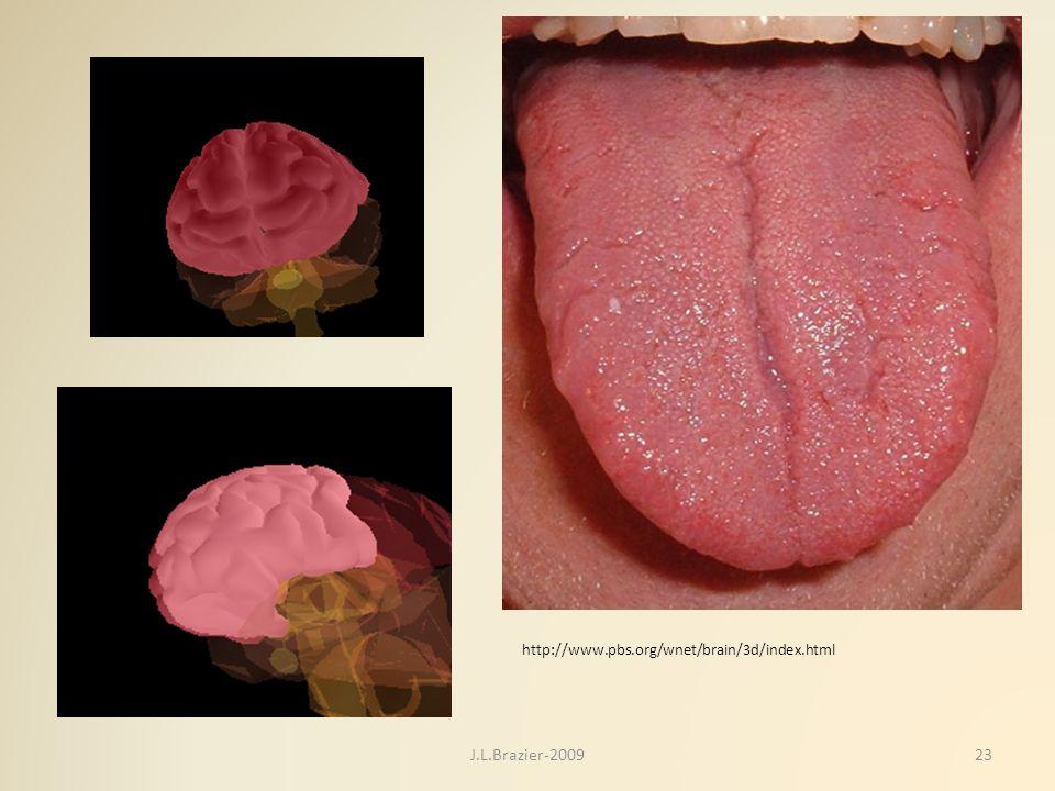 http://www.pbs.org/wnet/brain/3d/index.html 23J.L.Brazier-2009