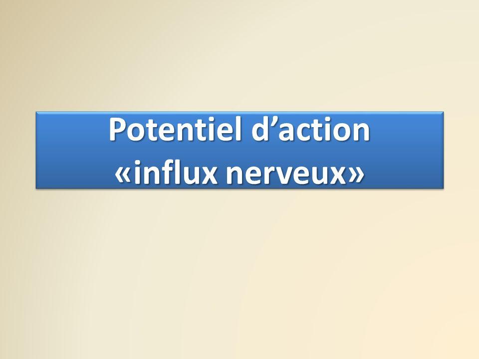 Potentiel daction «influx nerveux»