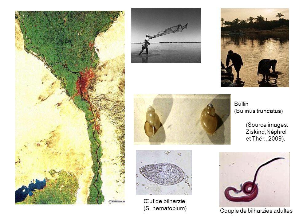 Prévalence de la bilharziose en Egypte, enquêtes 1935 et 1991 Deux évènements: -Barrage dAssouan (1960) -Campagnes de traitement de la bilharziose (1960s-80s) (Strickland, Hepatology, 2006)