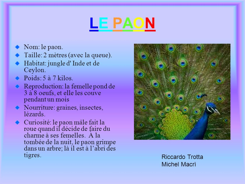 LE PAON Nom: le paon. Taille: 2 mètres (avec la queue). Habitat: jungle d' Inde et de Ceylon. Poids: 5 à 7 kilos. Reproduction: la femelle pond de 3 à