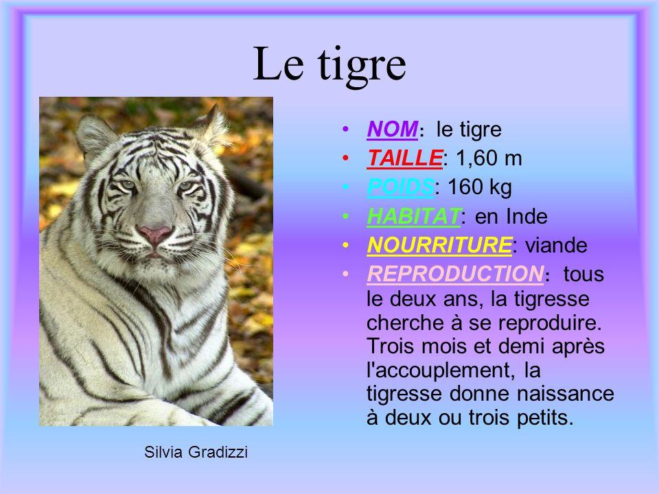 Le tigre NOM: le tigre TAILLE: 1,60 m POIDS: 160 kg HABITAT: en Inde NOURRITURE: viande REPRODUCTION: tous le deux ans, la tigresse cherche à se repro