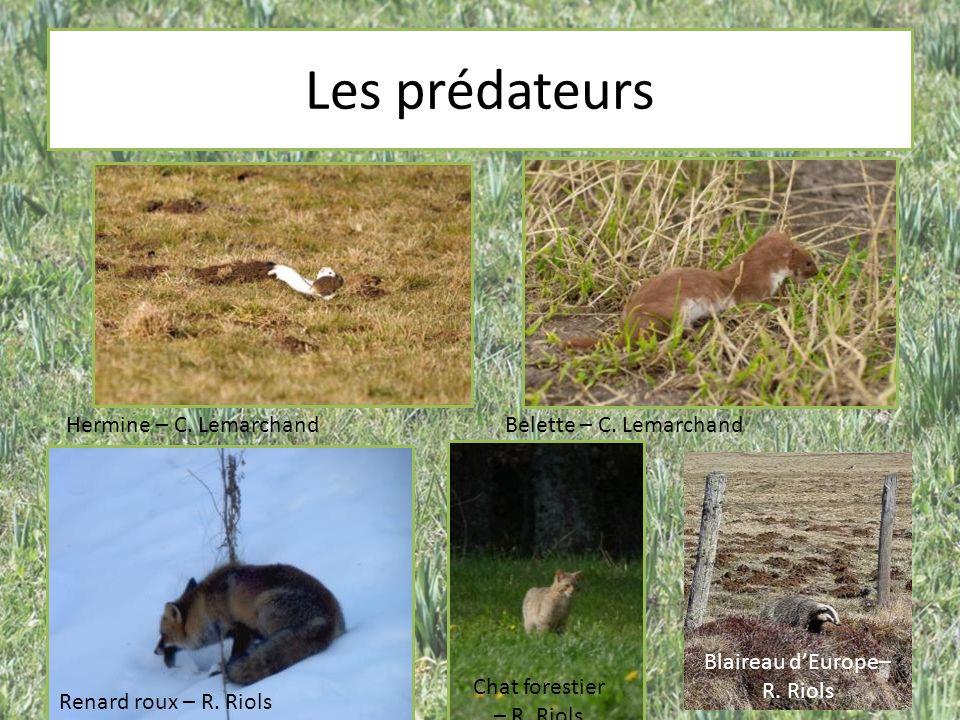 Les prédateurs Hermine – C. LemarchandBelette – C. Lemarchand Renard roux – R. Riols Chat forestier – R. Riols Blaireau dEurope– R. Riols
