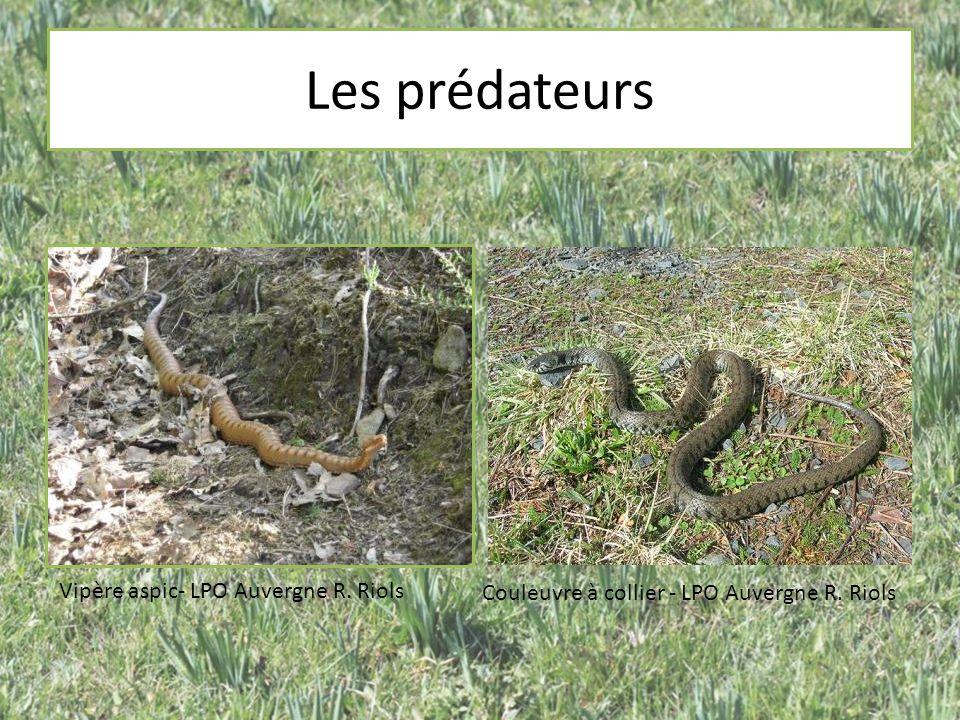 Les prédateurs Vipère aspic- LPO Auvergne R. Riols Couleuvre à collier - LPO Auvergne R. Riols