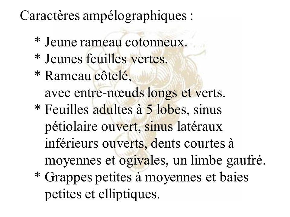 Caractères ampélographiques : * Jeune rameau cotonneux. * Jeunes feuilles vertes. * Rameau côtelé, avec entre-nœuds longs et verts. * Feuilles adultes
