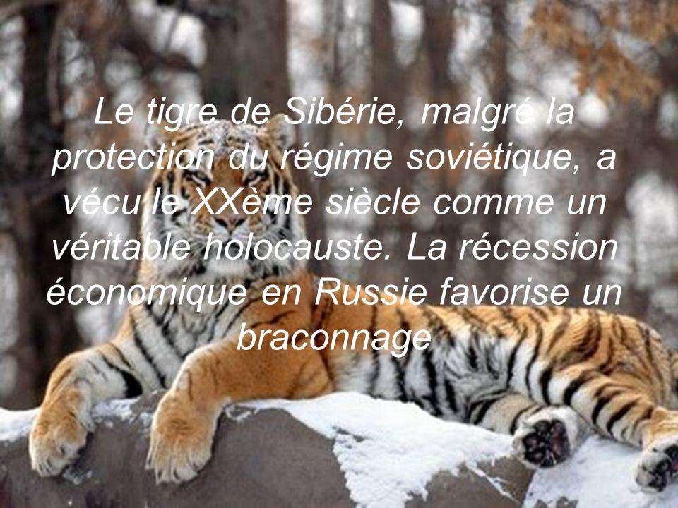 sublime écosystème et terre de légendes. On raconte que les chasseurs Nanaï ne tiraient jamais sur les tigres, tant ils les vénéraient…