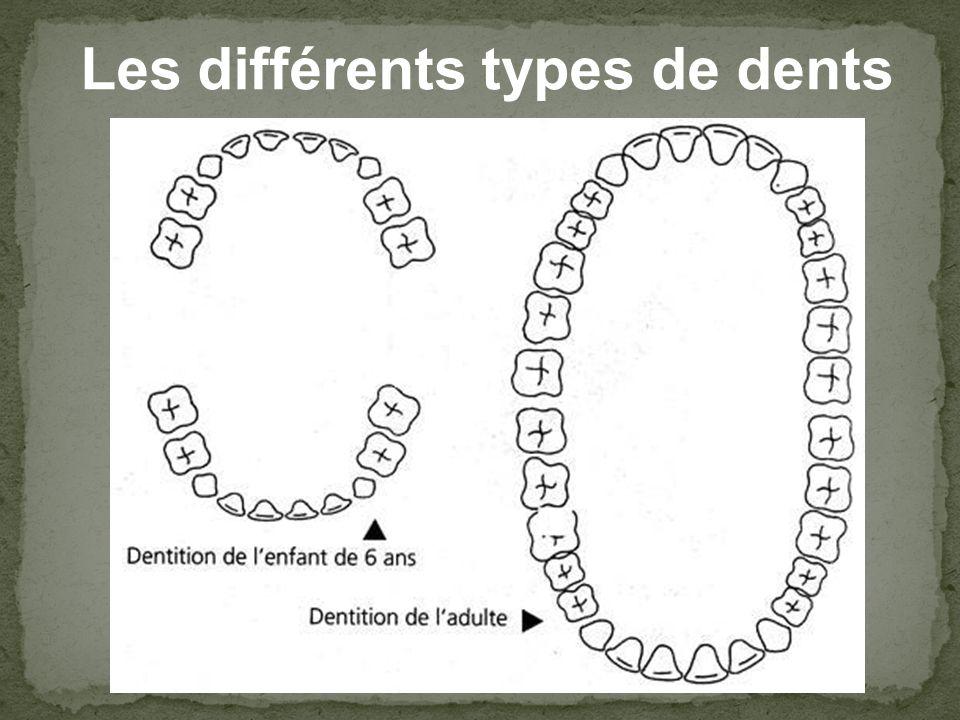 Les différents types de dents