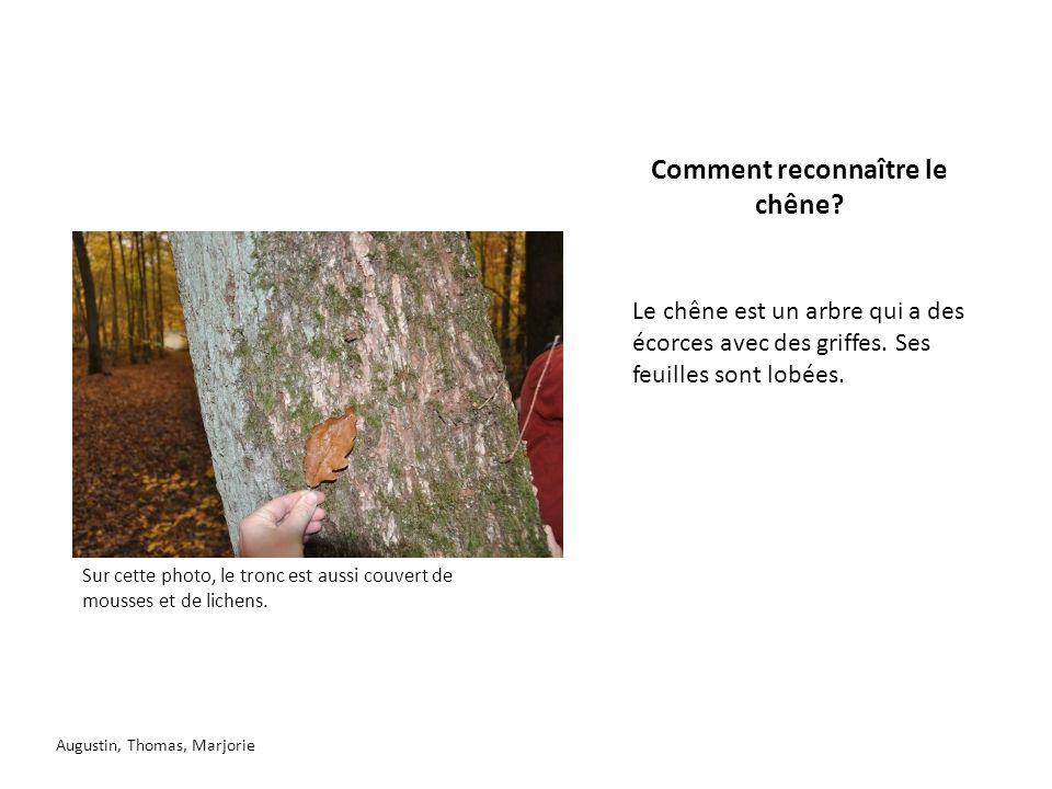 Comment reconnaître le chêne? Le chêne est un arbre qui a des écorces avec des griffes. Ses feuilles sont lobées. Augustin, Thomas, Marjorie Sur cette