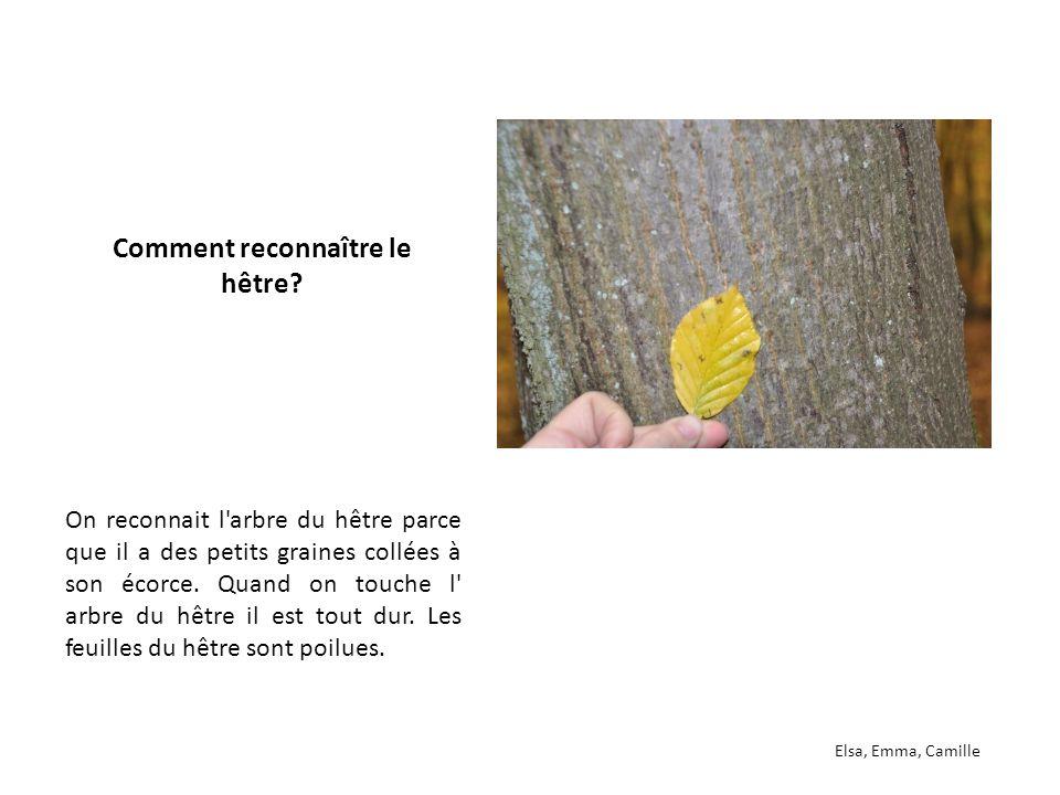 On reconnait l'arbre du hêtre parce que il a des petits graines collées à son écorce. Quand on touche l' arbre du hêtre il est tout dur. Les feuilles