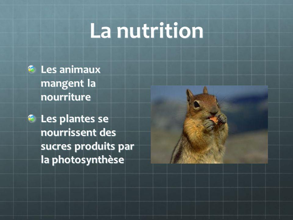 La nutrition Les animaux mangent la nourriture Les plantes se nourrissent des sucres produits par la photosynthèse