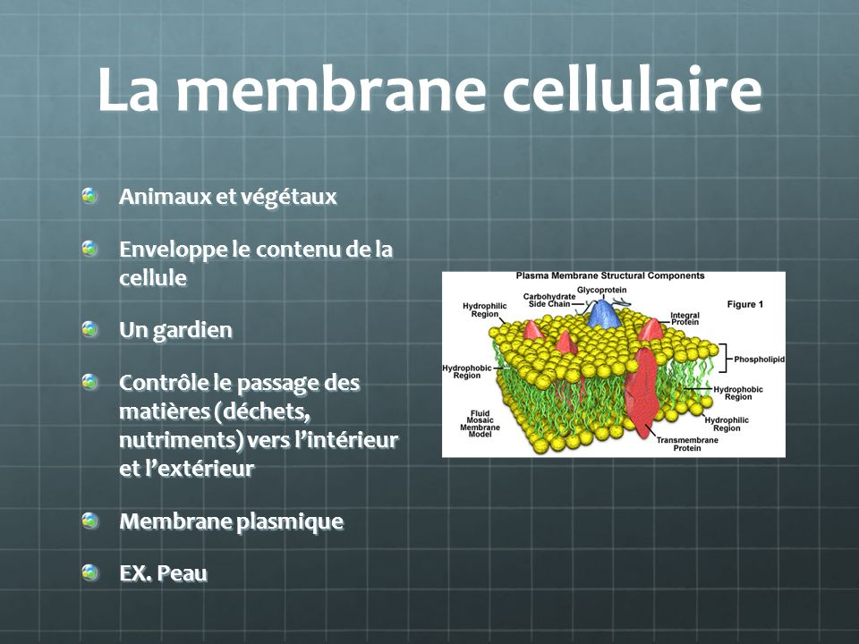 La membrane cellulaire Animaux et végétaux Enveloppe le contenu de la cellule Un gardien Contrôle le passage des matières (déchets, nutriments) vers lintérieur et lextérieur Membrane plasmique EX.