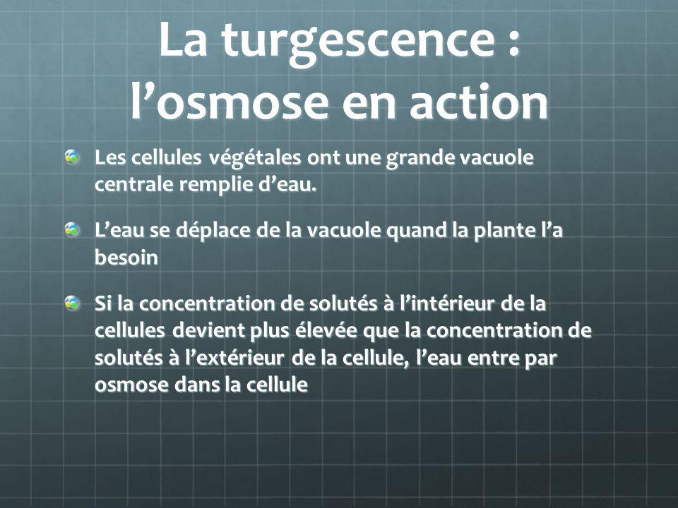 La turgescence : losmose en action Les cellules végétales ont une grande vacuole centrale remplie deau.