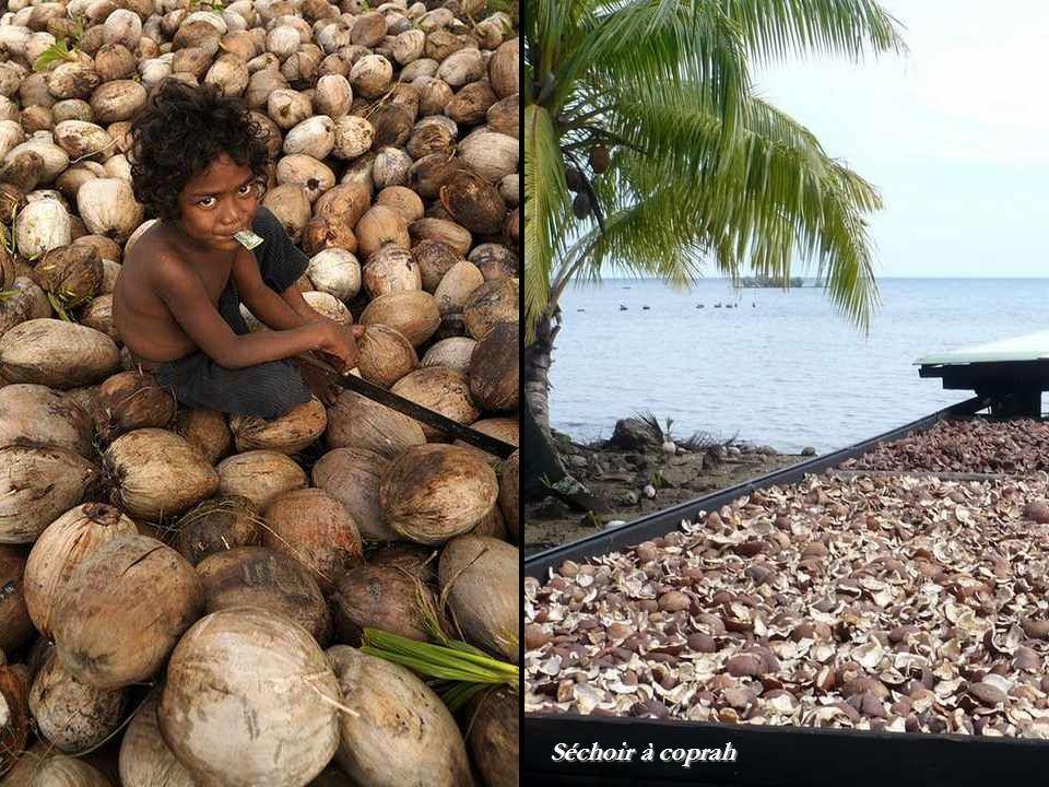 Collecte des noix de coco