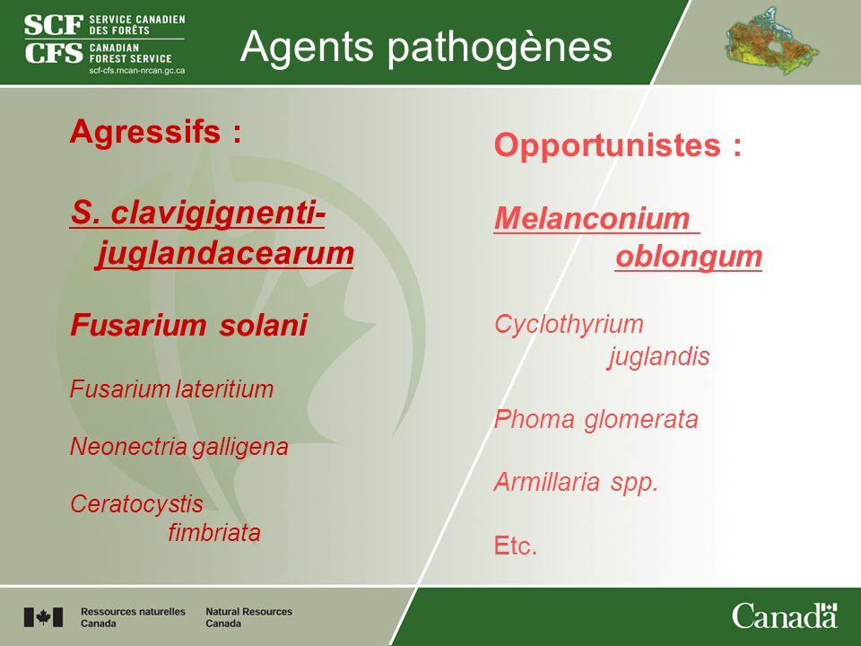 Agents pathogènes Agressifs : S. clavigignenti- juglandacearum Fusarium solani Fusarium lateritium Neonectria galligena Ceratocystis fimbriata Opportu