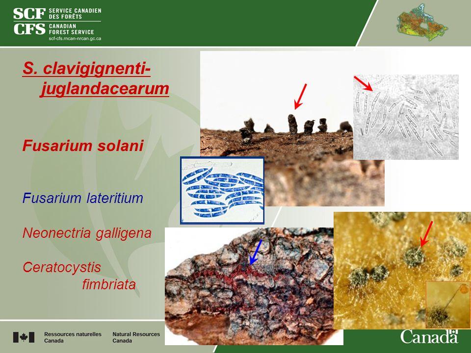 S. clavigignenti- juglandacearum Fusarium solani Fusarium lateritium Neonectria galligena Ceratocystis fimbriata