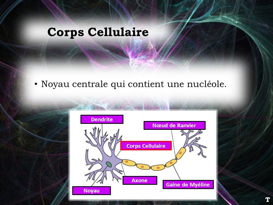 Noyau centrale qui contient une nucléole. Corps Cellulaire Dendrite Corps Cellulaire Noyau Axone Gaine de Myéline Nœud de Ranvier T